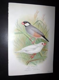 Frohawk & Butler 1899 Antique Bird Print. Java Sparrow